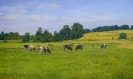 Landscape with cows 60х100