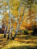 Birches in autumn 65х50